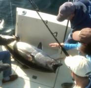 Bluefin-on-boat-440x430