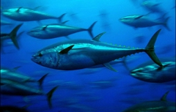 Bluefin_tuna_318.203