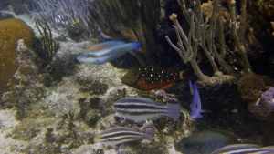 Striped parrotfish (Scarus iseri) on a reef