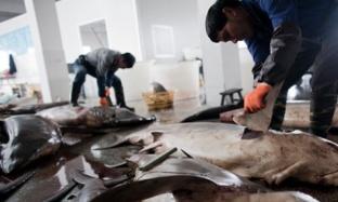 Millions Of Sharks Killed Annually For Shark Fin Soup