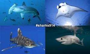 sharks914