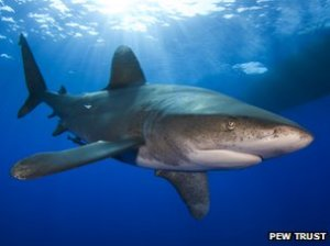 _81711315_oceanic_whitetip