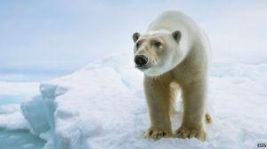 _84317804_c0207061-close_up_of_a_standing_polar_bear-spl