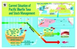 Pacific Bluefin tuna_infographic