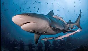 shark_mum_with_pups_copyright_sam_cahir_483334