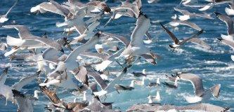 seabirdsfisheries_jmarcos_07