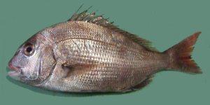 fish_-_deep_sea_-_red_seabream_-_commons_wikimedia_copyrights_miya
