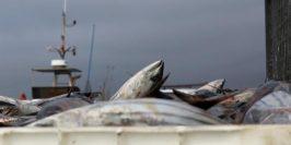 pesca-Descarga-do-AtumBonito-660x330