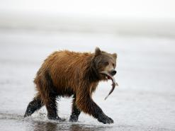 Brown-bear-Silver-Salmon-Creek