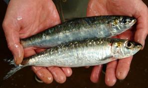 e20171031_sardines_sem nome