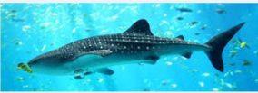 whale_shark-696x253