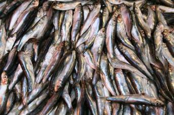 sxc_sardines