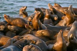 01-og-california-sea-lion-shooting-nationalgeographic_1519324.adapt.676.1